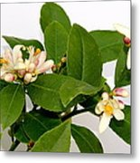 Lemon Blossom Metal Print by Karen Grist