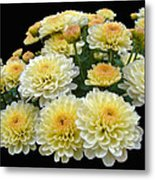 Lemon Meringue Chrysanthemums Metal Print
