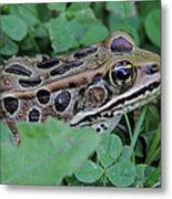Leopard Frog Metal Print
