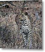 Leopard Hunt Metal Print