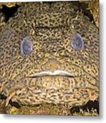 Leopard Toadfish Metal Print by Clay Coleman
