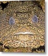 Leopard Toadfish Metal Print