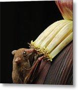Lesser Long-tongued Fruit Bat Metal Print