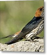 Lesser Striped Swallow Metal Print by Peter Chadwick