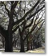 Light Through Live Oaks Metal Print