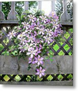 Lilac Clematis Flower Vine Basking In Sun Rays On A Wood Garden Arbour Metal Print