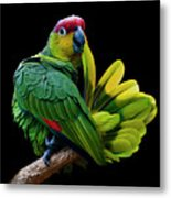 Lilacine Amazon Parrot Isolated On Black Backgro Metal Print by Photo by Steve Wilson