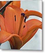 Liliaceae Orange  Metal Print