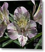 Lily - Liliaceae Metal Print