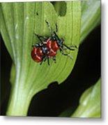 Lily Beetles Mating Metal Print