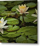 Lily Pads And Blossoms. No186 Metal Print