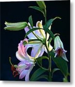 Lily Pod To Flower Metal Print