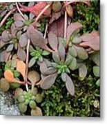 Lime Stonecrop  Leaves In Winter Metal Print