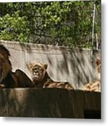 Lion Around Metal Print
