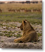 Lion Lazy Metal Print