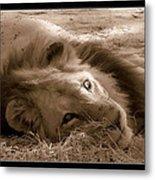 Lion Of Afrrica Metal Print