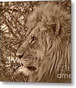 Lion Of Chobe Metal Print