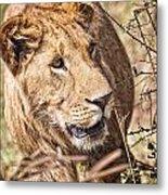 Lioness Hiding Metal Print