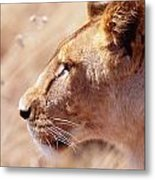 Lioness Staring Intently At Passing Metal Print