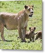 Lioness With Cubs Metal Print by Carson Ganci
