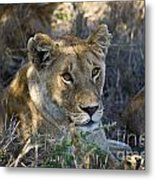 Lioness With Pride In Shade Metal Print