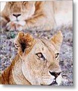Lionesses Lying In Shade In Maasai Mara Metal Print