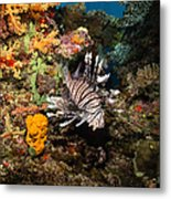 Lionfish, Fiji Metal Print