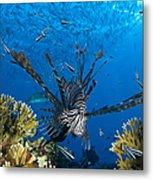 Lionfish Foraging Amongst Corals Metal Print