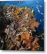 Lionfish, Indonesia Metal Print