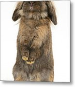 Lionhead Rabbit Metal Print