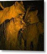 Lions At Night Metal Print