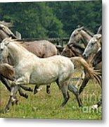 Lipizzan Horses Metal Print