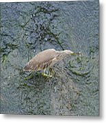 Little Bittern Metal Print