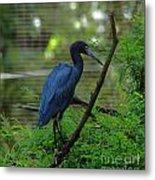 Little Blue Heron Portrait Metal Print