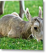 Little Lamb Metal Print by James Marvin Phelps