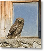Little Owl Athene Noctua On Window Metal Print