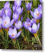 Little Purple Crocuses Metal Print