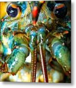 Live New England American Lobsters From Cape Cod Metal Print