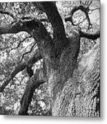 Live Oak Metal Print by Waverley Manson