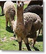 Llama On The Inca Trail Metal Print