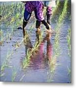Local Planting Rice By Hand Metal Print