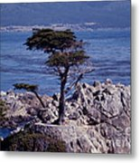 Lone Cypress By The Sea Metal Print