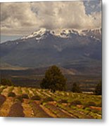 Lone Tree And Lavender Fields Metal Print