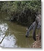 Lone Zebra At The Drinking Hole Metal Print