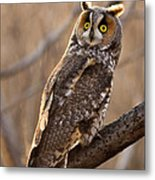 Long-eared Owl Metal Print