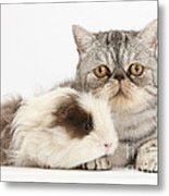 Long-haired Guinea Pig And Silver Tabby Metal Print