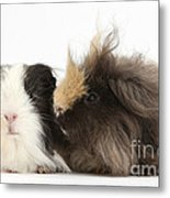Long-haired Guinea Pigs Metal Print