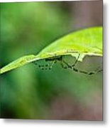 Long Leg Spider Metal Print