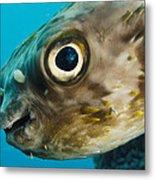 Long-spine Porcupinefish Diodon Metal Print
