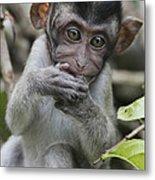 Long-tailed Macaque Macaca Fascicularis Metal Print